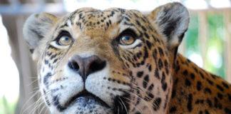 tigre zoológico Zoológico Municipal Noel Kempff Mercado